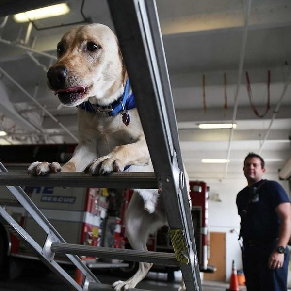 Check out this guy! RIT climbing a ladder at Ft Lauderdale Fire station 47. RIT is Broward County Florida's first fire department FEMA trained search and rescue dog. #usar